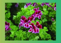 درمان بیماری ها به کمک گیاه های راسته شمعدانی پارس ایمن دارو