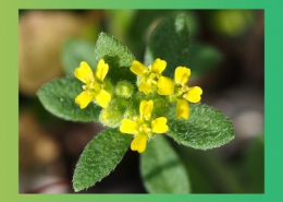 گیاه دارویی موثر در درمان تنگی نفس و تقویت شش ها پارس ایمن دارو