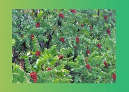 گیاهان دارویی موثر در بندآوردن اسهال و تب
