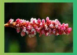 گیاهان بی گل برگ با گل های نر ماده پارس ایمن دارو