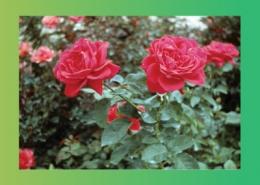راسته گل سرخ و خواص ضد درد و ضد التهابی آن پارس ایمن دارو