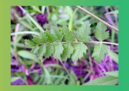 گیاهان دارویی با خاصیت ضد تهوع پارس ایمن دارو
