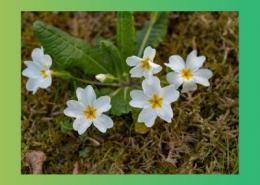 خواص درمانی گیاهان پامچال و خرمالو پارس ایمن دارو