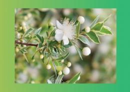 خواص درمانی گیاهان راسته ی مورد پارس ایمن دارو