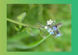 خواص دارویی گیاهان تیره گل گاو زبان و زیتون پارس ایمن دارو