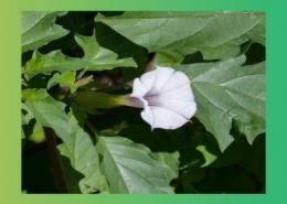 گیاهان دارویی موثر در تنگی نفس و آسم پارس ایمن دارو