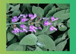 خواص درمانی و دارویی گیاه های علفی پارس ایمن دارو