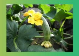 خواص درمانی گیاهان خیار و روناس پارس ایمن دارو