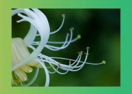 خواص درمانی گیاهان پیچ امین الدوله ، آقطی و سنبله الطیب پارس ایمن دارو