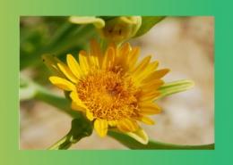 گیاهان دارویی زیر تیره کاسنی پارس ایمن دارو