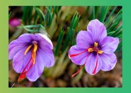 خواص دارویی گیاهان تیره زنبق و زنجبیل پارس ایمن دارو