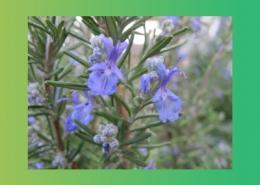 خواص افتیمون و گیاهان دارویی موثر در دفع صفرا پارس ایمن دارو