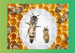 ملکه-زنبور-عسل